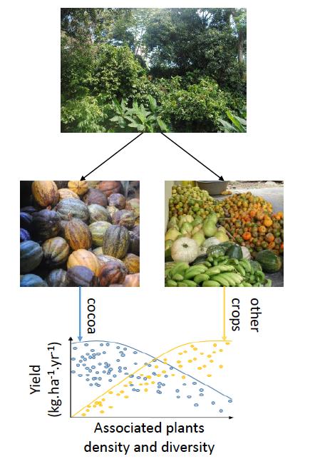 Evolution du rendement des plants de cacaoyers (kg/ha/an) en fonction de l'augmentation de la densité et de la diversité des autres espèces associées