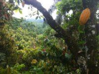 L'agroforesterie est au cœur du projet Cacao Forest