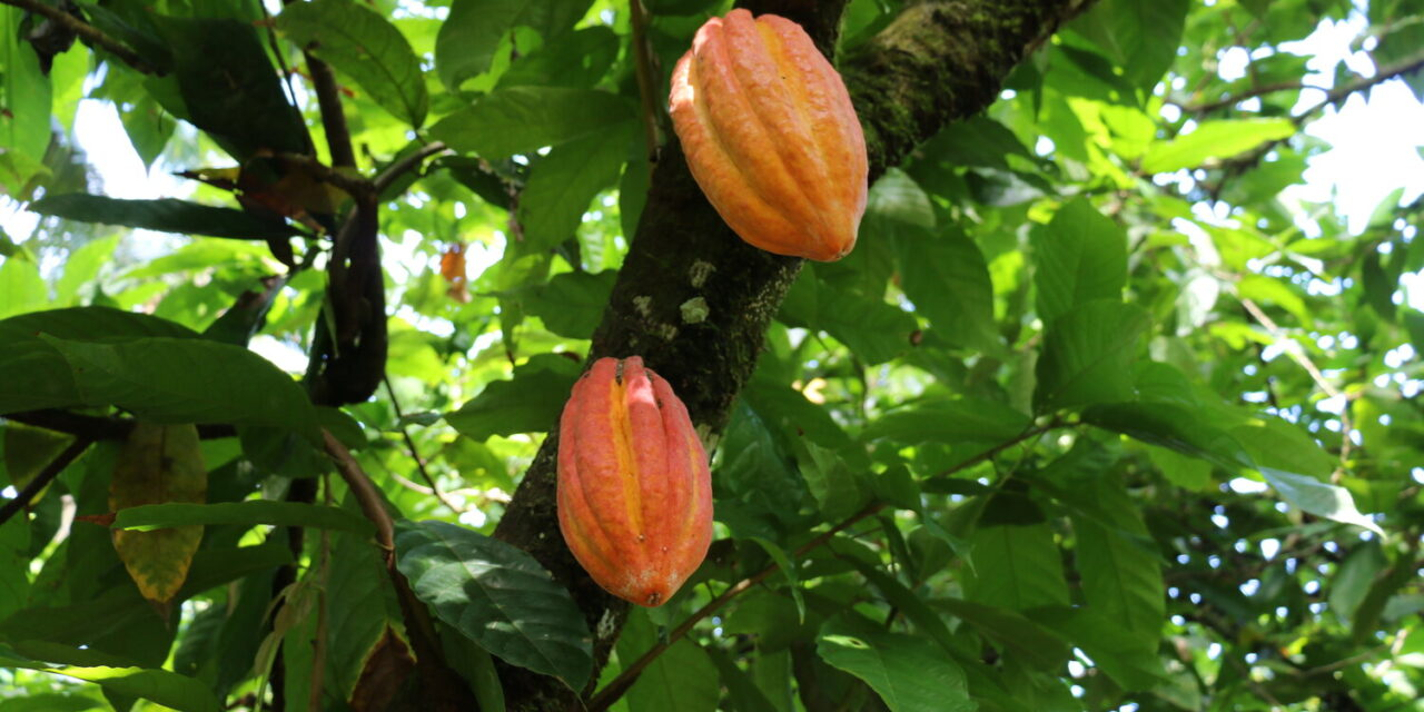 ISO 34101: an international standard for sustainable cocoa