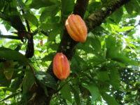 ISO 34101 : Une norme pour un cacao durable La filière cacao est complexe et morcelée. Les pays producteurs sont répartis sur la ligne équatoriale, tout autour du globe et les exploitations sont le plus souvent de petites parcelles vieillissantes aux pratiques agricoles disparates. Parallèlement, le consommateur final, de plus en plus sensibilisé aux enjeux sociaux et environnementaux, recherche des produits éthiques, responsables, durables. Mais comment garantir la traçabilité des fèves sur un marché si fragmenté ? Et comment garantir un niveau de vie décent aux producteurs ? IMG_9303.JPG Pour tenter de répondre à cette problématique, les parties prenantes de la filière cacao, se sont réunis pour établir une norme volontaire internationale, un référentiel commun et universel qui fixe les critères de production d'un cacao durable. Une gestation qui a duré 6 ans et a donné naissance, cette année, à la norme ISO 34101. Cette norme couvre les aspects organisationnels, économiques, sociaux et environnementaux de la culture du cacao, comprend des exigences strictes en matière de traçabilité, et offre davantage de clarté quant à la durabilité de la filière. Déforestation et travail des enfants Six années de travail auront été nécessaires pour accorder les points de vue, parfois divergents, des différents acteurs à l'échelle mondiale. « Si la déforestation n'est pas acceptable d'un point de vue européen, elle peut être liée à questions de survie du point de vue pays producteurs », illustre Florence Pradier, secrétaire générale du Syndicat du chocolat. En effet, les cacaoyers ne peuvent vieillir trop longtemps sur pied, sous peine de perdre en rendement (au-delà de 20 à 25 ans), or l'âge moyen des plantations atteint 30 ans au Ghana et en Côte d'Ivoire et 45 ans au Cameroun, posant le défi du renouvellement. Autre exemple avec le travail des enfants, interdit en Europe mais fréquent dans les pays en développement, notamment dans le cadre de plantations familiales. Les parti