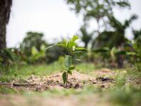 Cacaoculture durable en République Dominicaine