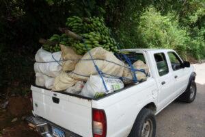Collecte des bananes issues des cacaoyères, qui seront vendues sur les marchés de Saint-Domingue.
