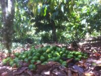 Avocats sous les cacaoyers